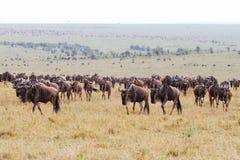 Espansione del Wildebeest nel Kenia fotografia stock