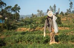Espantalho na exploração agrícola da plantação de chá com a montanha em Sri Lanka Fotos de Stock Royalty Free