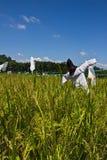 Espantapájaros en campo del arroz Fotos de archivo
