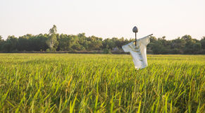 Espantapájaros en campo del arroz en fondo de la puesta del sol Fotografía de archivo libre de regalías