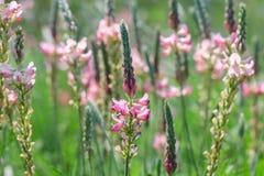 Esparcettebloei, bloemen en knoppen stock afbeelding
