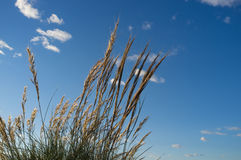 Esparto grass Stock Photography
