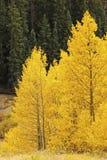 Espbomen met dalingskleur, San Juan National Forest, Colorado Royalty-vrije Stock Foto