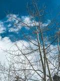 Espboom in de winter tegen een blauwe bewolkte hemel stock afbeelding