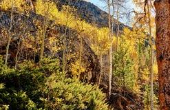 Espbosje bij de herfst in Rocky Mountains stock afbeelding