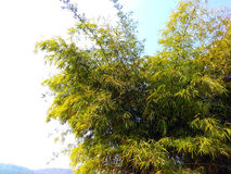 Espécie selvagem de bambu, satpura india Fotografia de Stock