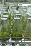 Espécimes crescentes da planta no laboratório Foto de Stock