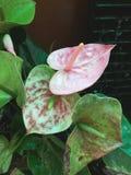 Espádice rosada Foto de archivo libre de regalías