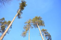 Especially beautiful look yellow crowns of trees against the blue sky. Optimism, positive. Sunny pines stock images