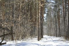 Especially beautiful in winter forest. This sight is like a fairy tale. It seems to us that in the winter forest there is peace and soundlessness, but it is only Stock Images
