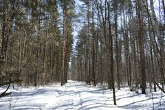 Especially beautiful in winter forest. This sight is like a fairy tale. It seems to us that in the winter forest there is peace and soundlessness, but it is only Royalty Free Stock Photo