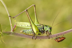 Especially bug meeting. Two strange insect with one halm take a little meeting Stock Photo