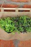 Especiarias Salsa e manjericão em uns potenciômetros Foto de Stock
