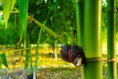 Especie de bambú para el consumo, injerto de bambú, injerto de bambú hecho frente Foto de archivo libre de regalías