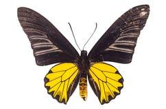 Especie de la mariposa Birdwing de oro (M), aeacus de Troides aislado encendido Fotografía de archivo