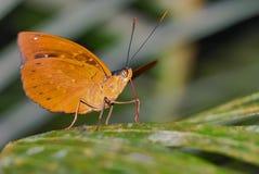 Especie de la mariposa no identificada ¡Él ` del lickin de la lengua del ` s bueno! Fotografía de archivo libre de regalías