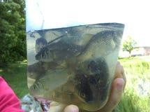 Especie de la mierda de los pescados de la captura en el río imagen de archivo