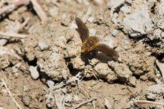 Especie de la mosca de abeja Foto de archivo libre de regalías