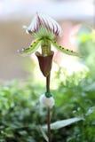 Especie de la orquídea del Paphiopedilum Fotos de archivo