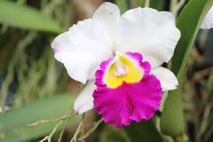 Especie de la orquídea del Paphiopedilum Imagen de archivo