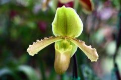 Especie de la orquídea del Paphiopedilum Fotografía de archivo