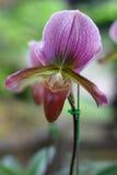 Especie de la orquídea del Paphiopedilum Fotografía de archivo libre de regalías