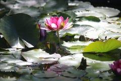 Especie de la planta de Rose Nymphaea Foto de archivo