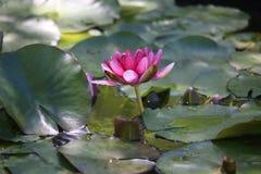 Especie de la planta del Nymphaea en una laguna Foto de archivo