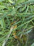 Especie de la salamandra fotografía de archivo