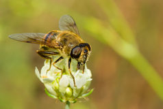 Especie de mosca similar a la abeja en una flor Fotografía de archivo