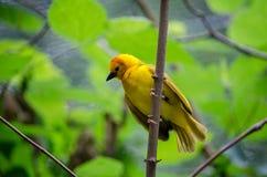 Especie de oro del pájaro del tejedor del taveta Imágenes de archivo libres de regalías