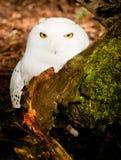 Especie de presa del pájaro Nevado Owl Large Yellow Eyed Wild Foto de archivo