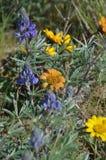 Especie de Rosy Balsam y del Lupine, joyas de la estepa del arbusto, colinas del cielo del caballo, Washington State del este Fotografía de archivo libre de regalías