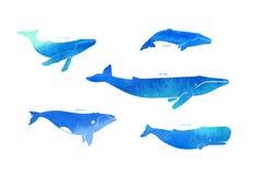 Especie de Wale en el fondo blanco Pposter Foto de archivo libre de regalías