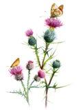 Especie del cardo dos, con las mariposas Bosquejo botánico de la acuarela en un fondo blanco Imagen de archivo libre de regalías