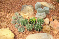 Especie del jardín del cactus plantada en sobrecarga Fotos de archivo