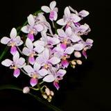 Especie del Phalaenopsis (equestris del Phalaenopsis) Imágenes de archivo libres de regalías