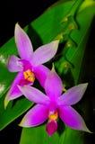 Especie del Phalaenopsis (violacea del Phalaenopsis) Imagen de archivo
