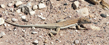 Especie endémica del desierto del Néguev, Israel del lagarto Imagen de archivo libre de regalías