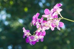 Especie tailandesa del color púrpura de la orquídea con el fondo Imagenes de archivo