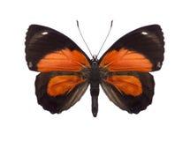 Especie tropical de Callicore de la colección de la mariposa Fotografía de archivo