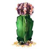 Especie verde, púrpura aislada, ejemplo del cactus de la acuarela en blanco stock de ilustración