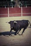 Espectáculo de la tauromaquia, donde una lucha de toro un torero S Foto de archivo
