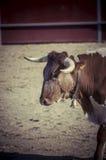 Espectáculo de la tauromaquia, donde una lucha de toro un torero S Fotos de archivo