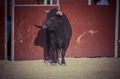 Espectáculo de la tauromaquia, donde una lucha de toro un torero S Foto de archivo libre de regalías