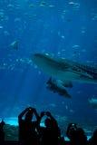 Espectadores del tiburón de ballena en el acuario Imágenes de archivo libres de regalías