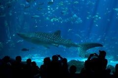 Espectadores del tiburón de ballena en el acuario Imagenes de archivo