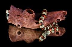 Espejo de la serpiente de rey de la serpiente de leche Fotografía de archivo libre de regalías