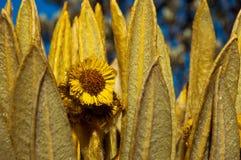 Espeletia Closeup. A closeup of a yellow espeletia flower Royalty Free Stock Photo
