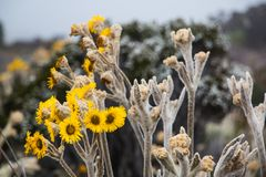 Espeletia, commonly known as `frailejones`, is a genus of perennial subshrubs, in the sunflower family Stock Photography